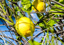 Lemon tree. Two yellow lemons on the branches with leaves in the tree Royalty Free Stock Image