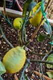 Lemon tree in vase Stock Photo