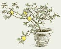 Lemon tree. Vector drawing of a lemon tree in a flowerpot vector illustration