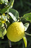 Lemon Tree. Lemon on Tree Wet early Morning Stock Images