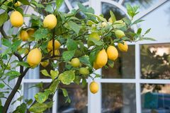 Lemon tree by the window royalty free stock photos
