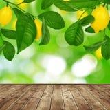 Lemon tree Stock Photography