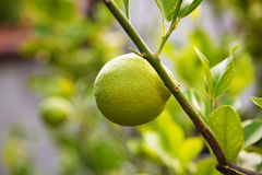 Lemon on tree Royalty Free Stock Photos