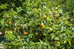 Lemon tree with yellow lemons Royalty Free Stock Photography