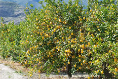 Lemon trees. On plantation in south of pain Stock Photo
