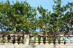 Lemon Trees. In a garden in Sicily Royalty Free Stock Image