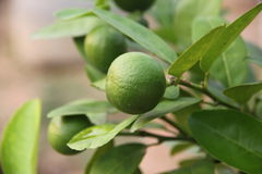 Lemon trees. Royalty Free Stock Photos