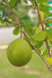 Lemon trees Royalty Free Stock Photos