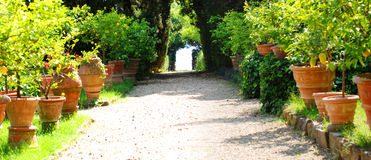 Lemon Trees. Rows of lemon trees on either side of a path in a garden in Tuscany Royalty Free Stock Image