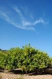 Lemon trees. Plantation with ripe fruits Stock Image