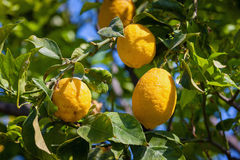 Lemon trees in a citrus grove in Sicily Stock Image