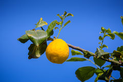 Lemon trees in a citrus grove in Sicily Stock Images