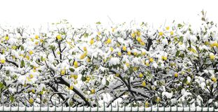 Lemon trees covered in snow at the end of February following the effects of the Siberian mass of air reached in southern Italy in. Campania. italy Royalty Free Stock Photo