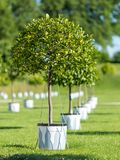 Lemon trees in even rows stock images