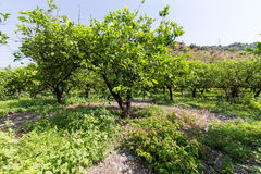 Lemon trees Stock Photography
