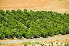 Lemon Trees Farm Royalty Free Stock Image