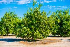 Lemon Trees Field Royalty Free Stock Photos