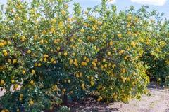 Lemon trees full of fruit Royalty Free Stock Image