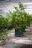 Lemon trees Royalty Free Stock Image