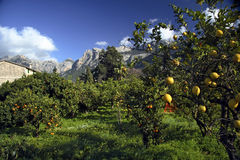 Lemon Trees, Majorca, Spain. Orchard of lemon trees in Majorca, Balears Island, Spain, stone building in background, mountains, blue sky and clouds Royalty Free Stock Images