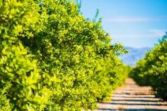 Lemon Trees Plantation Stock Images