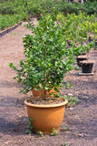 Lemon trees planted in plant pots Stock Image