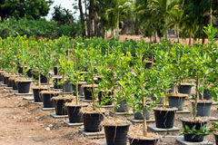 Lemon trees planted in plant pots Royalty Free Stock Photo