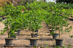 Lemon trees planted in plant pots Stock Images