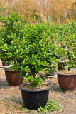 Lemon trees planted in plant pots Stock Photography