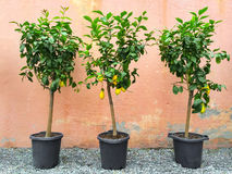 Lemon trees with ripe fruits Royalty Free Stock Photos