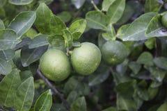 Lemon Trees Stock Images