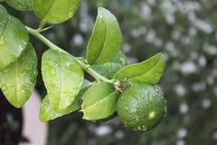 Lemon Trees Royalty Free Stock Photography