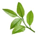Lemon twig isolated on white Royalty Free Stock Image