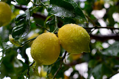 Lemon. Two ripe lemon on the tree after rain Stock Images