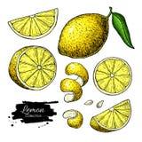 Lemon vector drawing. Summer fruit artistic illustration. vector illustration