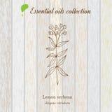 Lemon verbena, essential oil label, aromatic plant Royalty Free Stock Photos