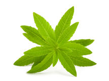 Lemon verbena Royalty Free Stock Image