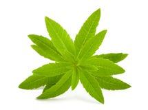 Lemon verbena. Isolated on white background Royalty Free Stock Image