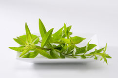 Lemon verbena leaves. Aloysia citriodora.  Naturopathy. White Background Stock Photography