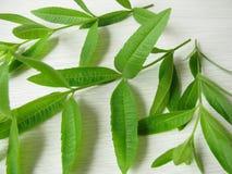 Lemon verbena, Lippia citrodora Stock Photos