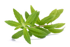 Lemon Verbena Louisa Herb. Lemon Verbena beebrush isolated on white background Royalty Free Stock Image