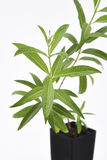 Lemon Verbena Plant Fresh Leaves Royalty Free Stock Photos