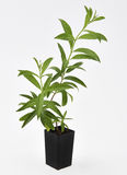 Lemon Verbena Plant Fresh Leaves Royalty Free Stock Images