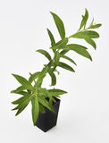 Lemon Verbena Plant Fresh Leaves Stock Photography