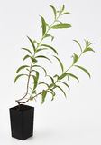 Lemon Verbena Plant Fresh Royalty Free Stock Photography