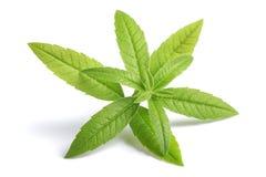 Lemon Verbena  beebrush. Lemon Verbena sprig beebrush isolated on white background Stock Image