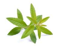 Lemon verbena. On white ground Stock Images
