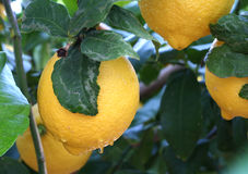Lemon with water drops Royalty Free Stock Photo