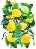 Lemon. Royalty Free Stock Photos