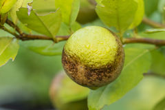 Lemon were eaten by thrips Royalty Free Stock Image